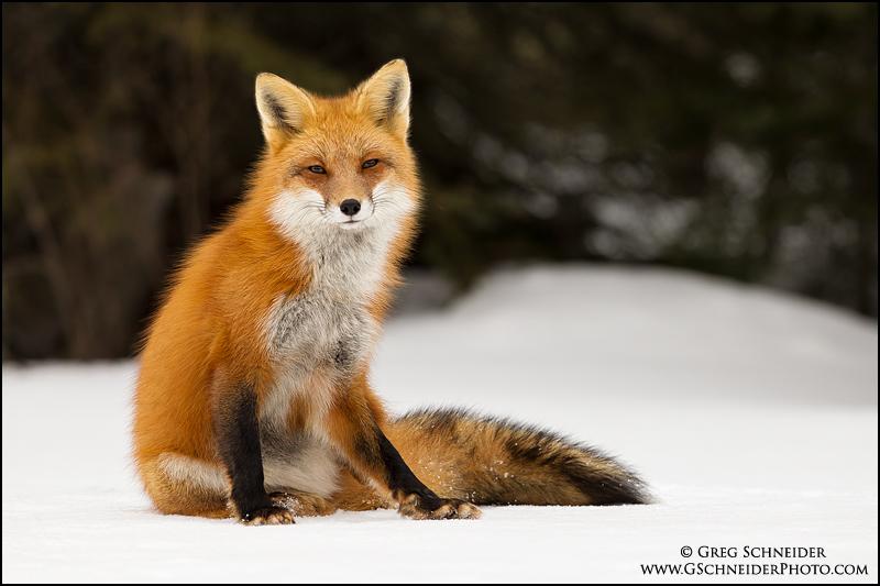 Red Fox Dreamy Stare
