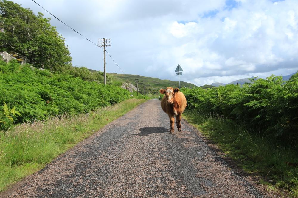Vaca en el camino