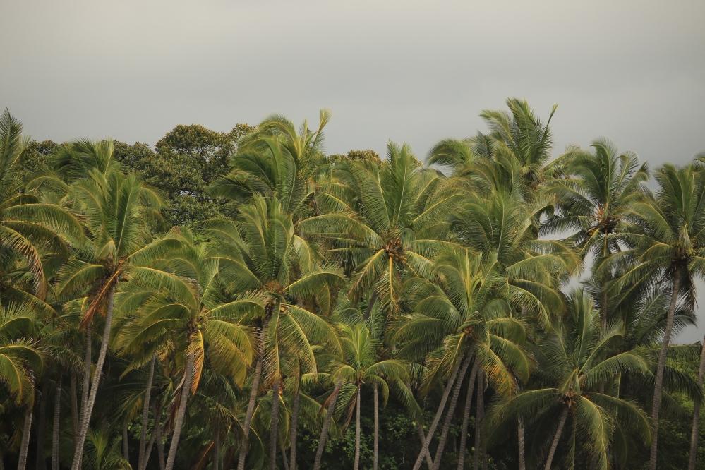 Palmeras Hawaiianas