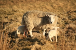 Ovejas recién nacidas