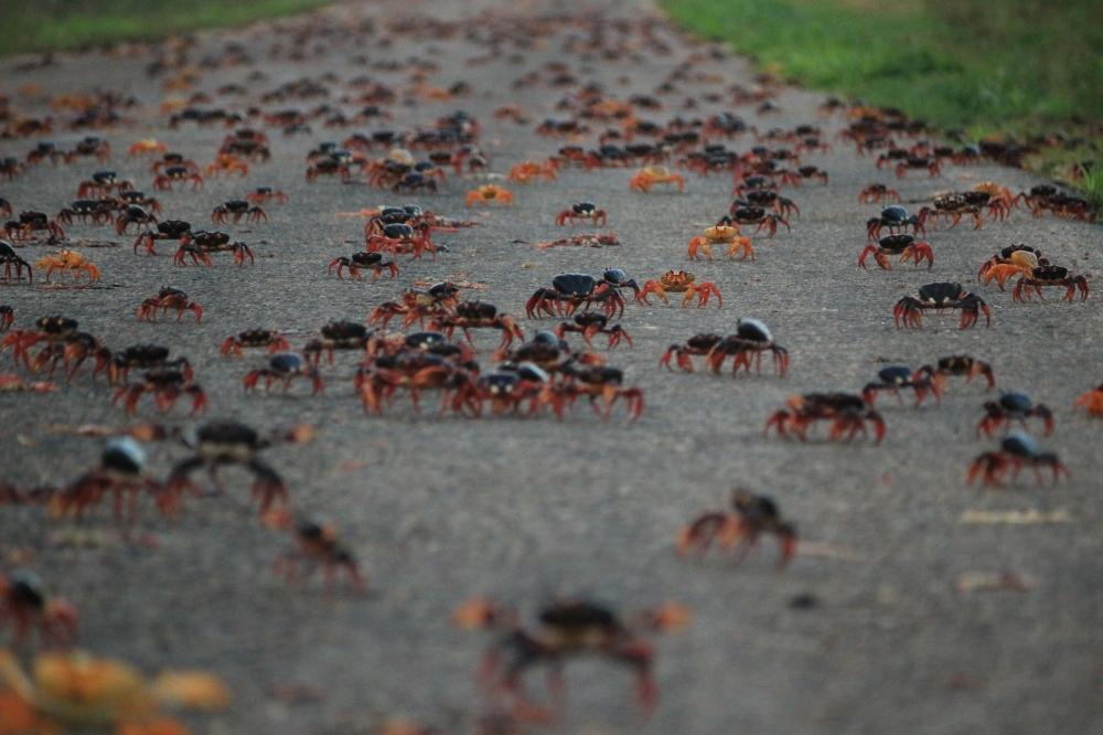 Cangrejos rojos al ataque