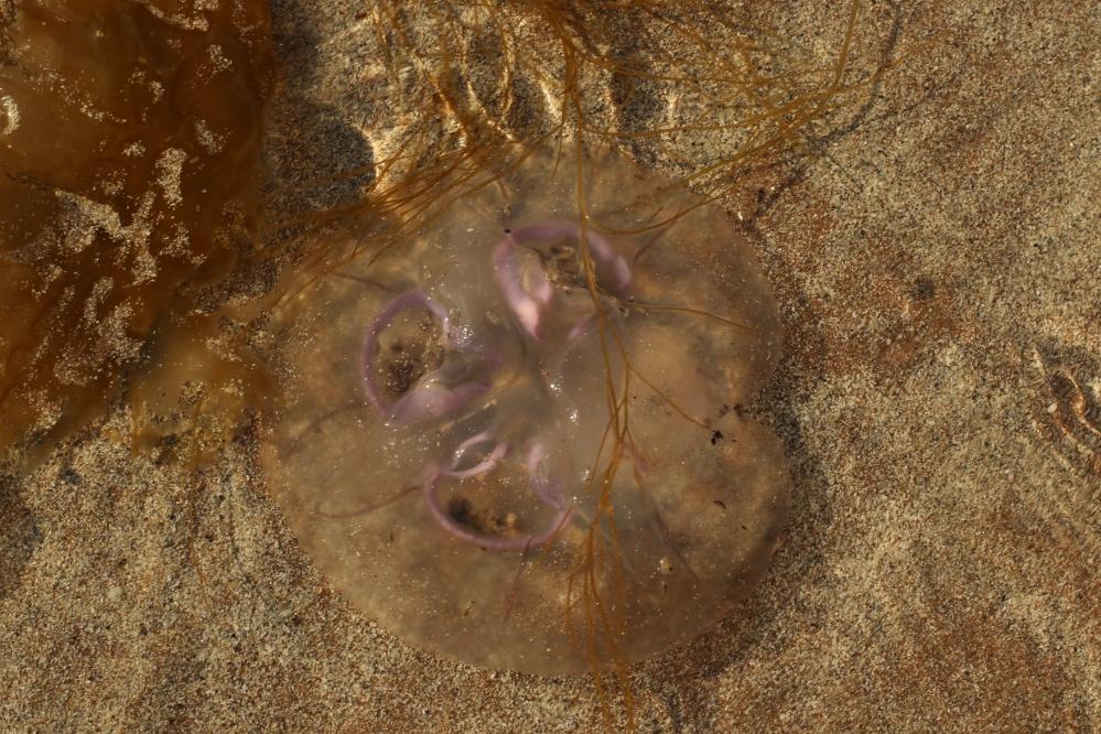Medusa Escocesa