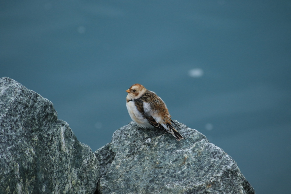 Icelandic bird