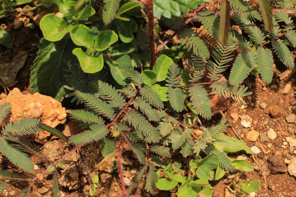 Planta mimosa